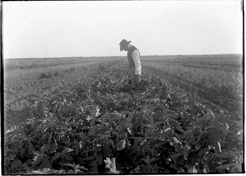 Agricultural field, undated. Robert Runyon Photograph Collection. RUN03416